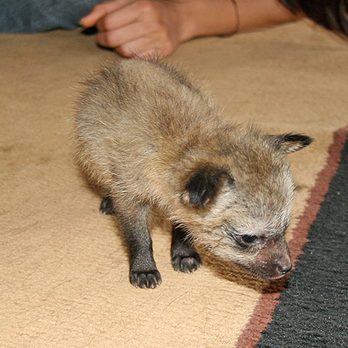 Bat-eared fox orphan