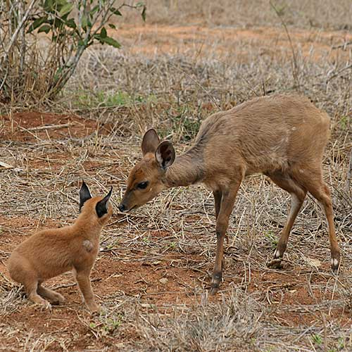 Caracal meeting Bushbuck