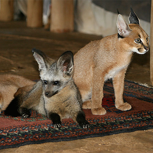 Bat-eared fox hanging out with the Caracal