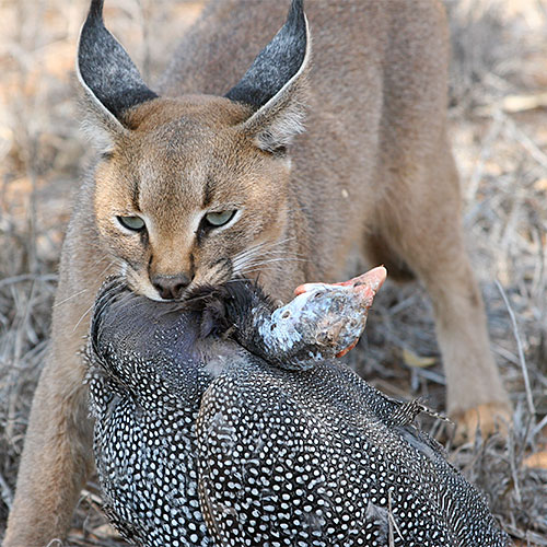 Caracal's first big kill