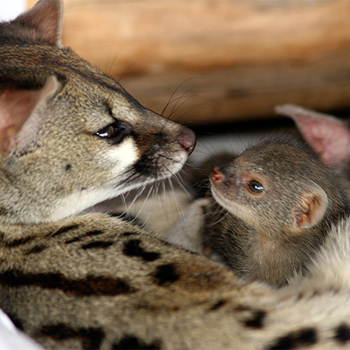 Genet Cat snuggling with Mongoose