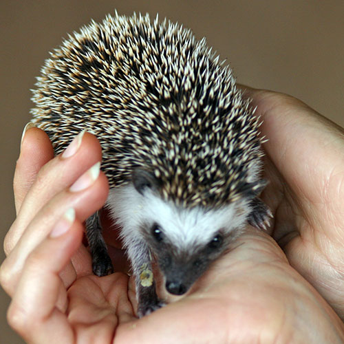 Hedgehog orphan